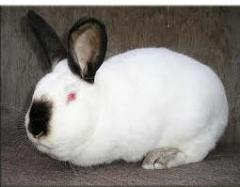 Rabbits breeding Californian breed