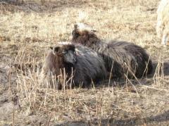 Цигайские овцы