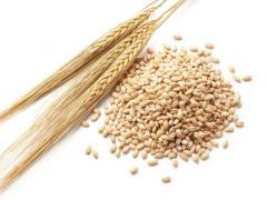Ячмень Barley
