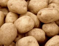 Картофель сортовой, купить сортовой картофель,