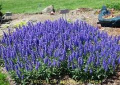 Цветы многолетние семена, продажа семян по