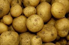 Картофель свежий, купить свежий картофель, сорт