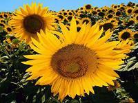 Семена подсолнечника Солнечное настроение гранстар