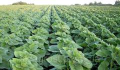 Семена подсолнечника Дует Clearfield