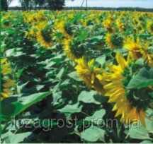 Семена подсолнечника Гранада