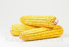 Семена кукурузы Легенда