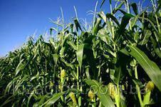 Семена кукурузы Зернослав