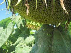 Семена подсолнечника Лейла