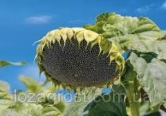 Семена подсолнечника Карат Гранстар