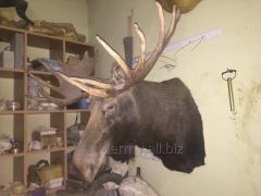 Чучело лося Камчатского