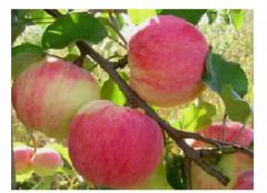 Продажа саженцев яблони