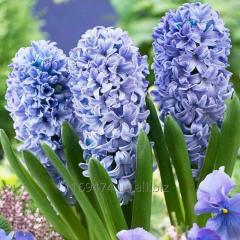 Гиацинт ко дню всех влюбленных и 8 марта