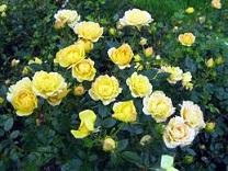 Саженцы почвопокровных  роз купить