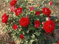 Саженцы роз Бордюрные