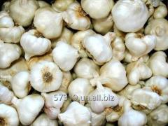 Garlic an ardent grade Sochinsky 56 on landing