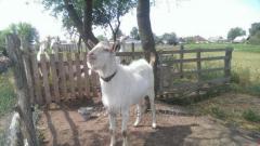 Продается  племенной козел зааненской породы