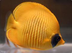 Рыбки Chaetodon semilarvatus