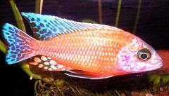 Рыбка аулонокара