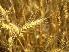 Зерновые культуры, оптом