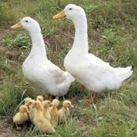 Комбикорм для водоплавающих птиц (гуси, утки)