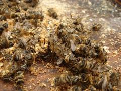 Экстракт пчелино - трутневого подмора