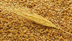 Screening of wheat used in livestock, poultry