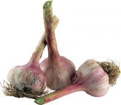 Winter garlic. Garlic wholesale and retail, Garlic