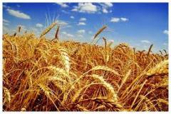 Пшеница озимая, Украина, Херсонская область
