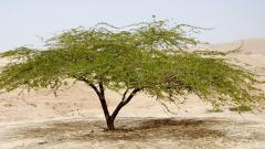 Гуммиарабик Е414 (Аравийская камедь)