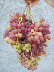 Sadzhants_ to grapes rayonovany sort_v