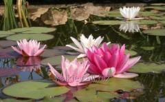 Aquatic plants, nymphs, water lilies, lotus, water