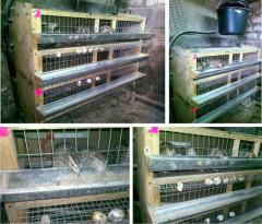 Equipment for cultivation of quails