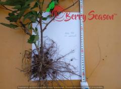 Безшипная ежевика 3-х летки Loh Tay, Thorn free Black Berry