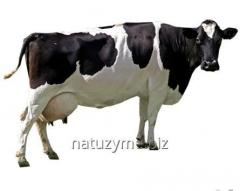 Premix Milk cows of 2%