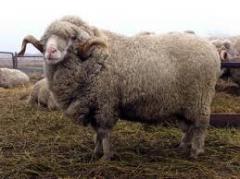 Племенные овцы асканийской породы, овцы тонкорунные