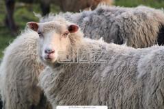 Овцы племенные тонкорунные, племенные овцы