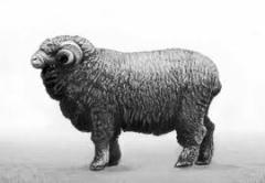 Бараны асканийской породы, маточное поголовье овец, асканийская порода овец