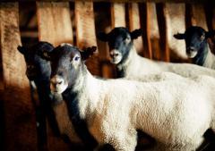 Романовские овцы на шерсть -Годовой настриг с