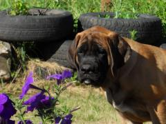 I will sell a puppy of the English mastiff