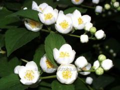 Jasmine essential oil of a jasmine
