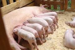 Премікси для свиней від виробника ПП «Агро Дім»