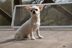 Чихуахуа, щенок