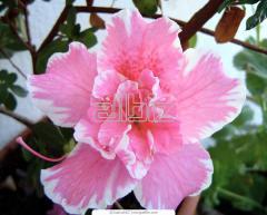 Azaleas, Veygel, Hortensius, Agriculture,