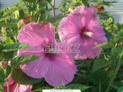 Гибискус,Сирень, Жасмин, Форзиция, Цветы садовые