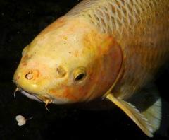 Зарыбление Кои и декоративными видами рыб