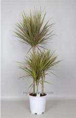 Драцена bicolor 60-30-15