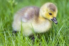 One-day-old gosling