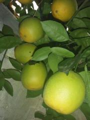 Saplings of Guided Washington orange from 30 to 50