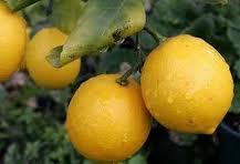 """Лимон """"Киевский крупноплодный"""". Высота 1- 1.3 м с завязью плодов."""
