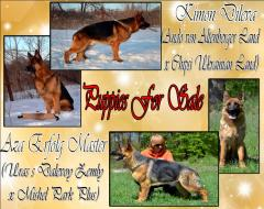 Puppies of a German shepherd are on sale